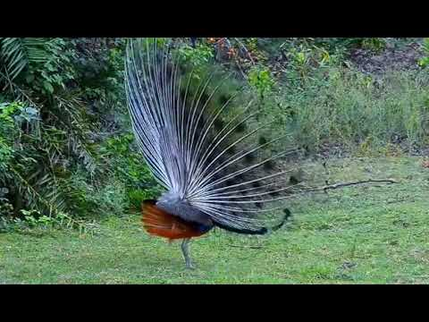 Unduh 103 Foto Gambar Burung Merak Terindah HD Paling Keren