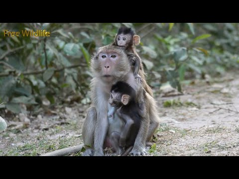 Nature Life Of Monkeys_ Looking Baby Monkeys Are Playing So Happy With Them