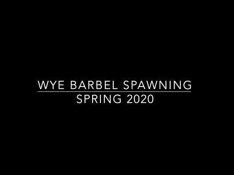 Barbel Spawning :: River Wye Spring 2020