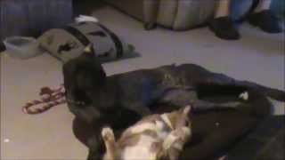 German Shorthair Pointer And Fat Cat