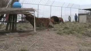 Lions and Tiger Get Habitat
