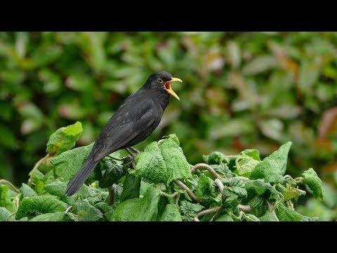 Jose Feliciano - Blackbird  [HD]