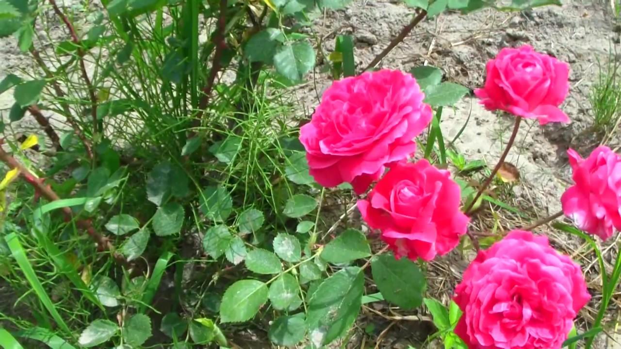 Канадские парковые розы в последние годы можно приобрести российским садоводам без особого труда, но здесь есть «подводные камни». Дело в том, что эти розы, выращенные именно в канаде, очень дороги: оптовая цена на крупную партию превышает 500 рублей за 1 саженец. Поэтому наши.