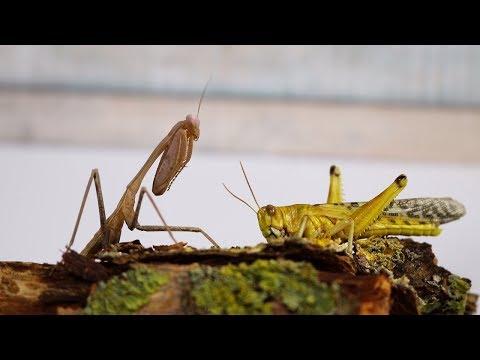 Lebendfütterung der Mantiden - Gottesanbeterin VS Riesen Wüstenheuschrecke