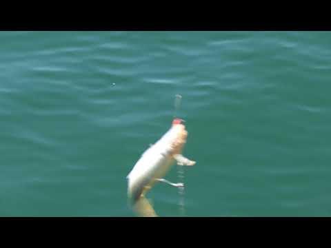 マルアジですがよく釣れている和歌山田辺市文里(もり)湾 堤防サビキ釣り 釣太郎