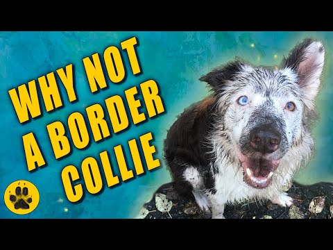 Why not get a Border Collie
