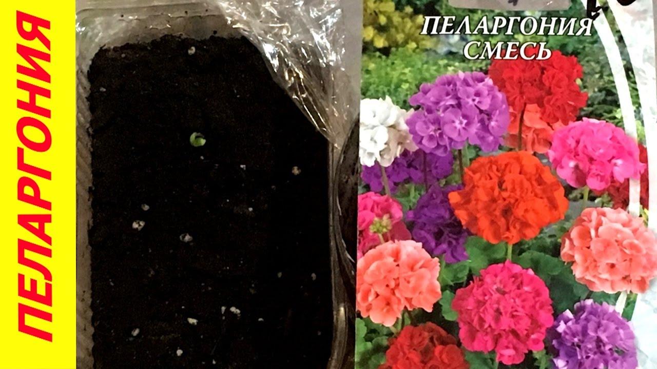 Семена из Китая Пеларгония Алиэкспресс посев всходы герани - YouTube