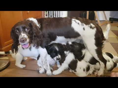 6.5 Week Old Puppies at Play, English Springer Spaniels Puppy Puppies Puppys ESS