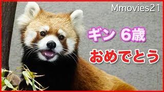 レッサーパンダ ギン 6歳の誕生日 Red Panda
