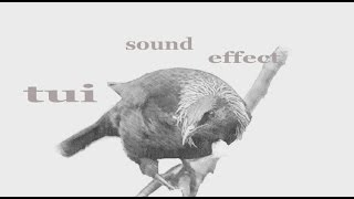 The Animal Sounds: Tui Sounds /  Sound Effect / Animation