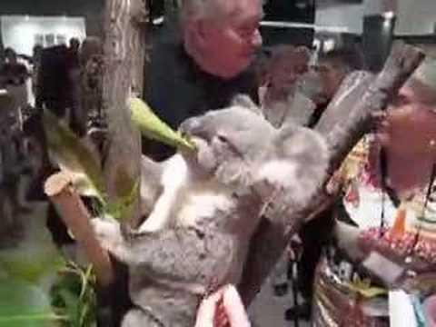 Our Guest Koala In Port Douglas
