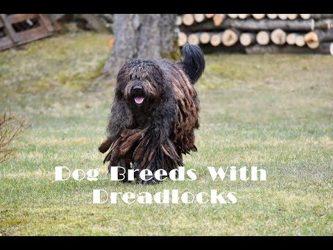 Dog Breeds With Dreadlocks