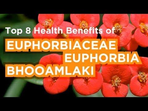 top-8-health-benefits-of-euphorbiaceae-or-euphorbia-or-bhooamlaki