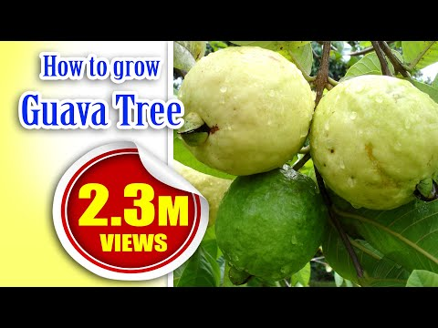 How To Grow Guava Tree Faster Garden Home