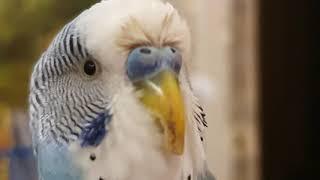 ПРИКОЛЫ С ЖИВОТНЫМИ В гостях у попугая Кеши Говорящий волнистый попугай