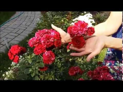 Как получить непрерывное цветение роз. Август 6. Роза Дип Импрешен. Непрерывное цветение.