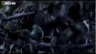 National Geographic. Тайная жизнь хищников. На виду. 1 серия (в HD)