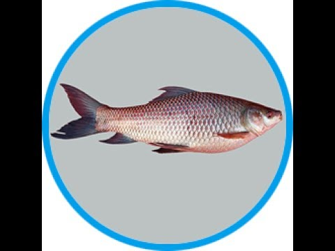 LABEO ROHITA FISH DOWNLOAD