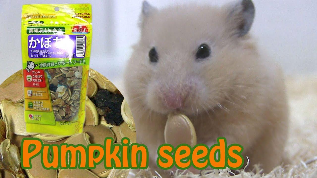かぼちゃの種をハムスターに与えてみました Hamster snacks - Pumpkin seeds