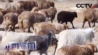 [中国新闻] 新疆阿勒泰:百万牲畜迎转场高峰期 | CCTV中文国际