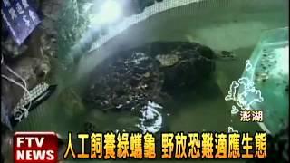 大義宮飼養綠蠵龜 違自然惹議-民視新聞