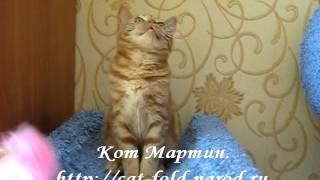 Мартин, кот, скоттиш-страйт, окрас красный мраморный.