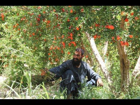 Kandahar Argandab Afghanistan, fruits Gardens