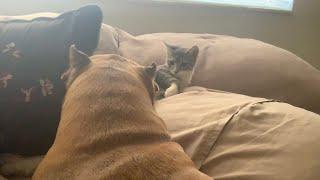 Pitbull Grooms Kitten & Sweetest Pitbull Cuddles