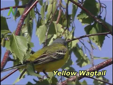 Songbirds Of Central Europe
