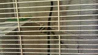 Video New Sugar gliders playing in their cage download MP3, 3GP, MP4, WEBM, AVI, FLV November 2017