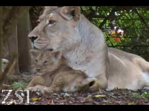 Cute Asian Lion Cubs - ZSL London Zoo