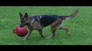 German Shepherd Sky  At A & B Dogs Boarding & Training Kennels.
