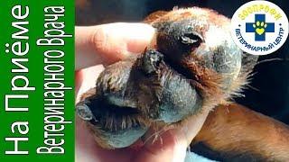 Что Может Произойти Если Собака Сломала Коготь?