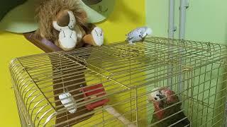 Попугай Амазон и волнистый попугай общаются