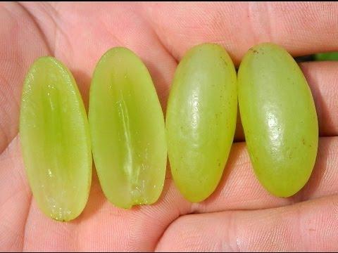 Виноград  кишмиш Столетие (Grapes Centennial Seedless) 2015