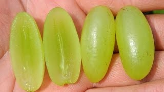 Виноград  кишмиш Столетие (Grapes Centennial Seedless) 2015