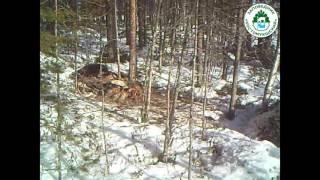 Росомаха в костомукшском заповеднике