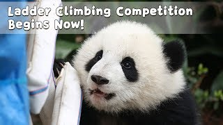 Ladder Climbing Competition Begins Now! | iPanda