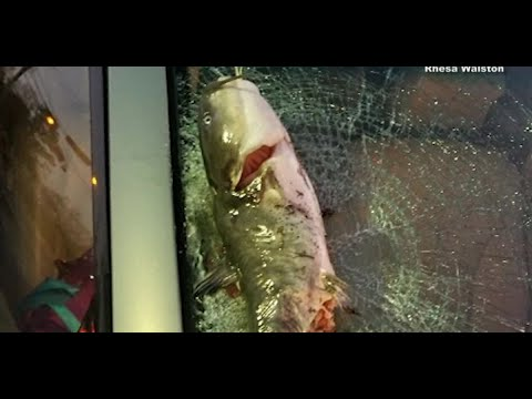 Heath West - Catfish Smashes A Woman's Car Windshield After Falling From Sky