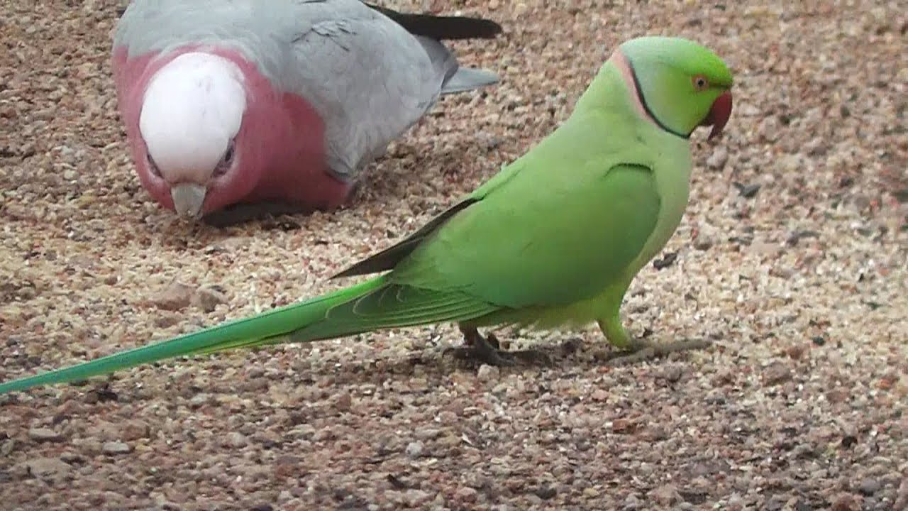 Indian Green Parrot Baby Footage of Gree...