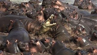 單兵鱷魚遭河馬集體霸凌《國家地理》雜誌