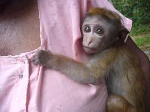 "Sri  Lanka,ශ්රී ලංකා,Ceylon,Baby Monkey, Toque Macaque ""Raju"""