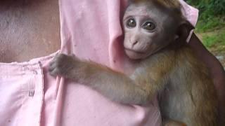 Sri  Lanka,ශ්රී ලංකා,Ceylon,Baby Monkey, Toque Macaque