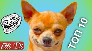 ТОП 10 ВИДЕО С ЧИХУАХУА | ПРИКОЛЫ С СОБАКАМИ | Elli Di Собаки