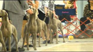 "Weimaraner ""seneca"" At Greenville Dog Show 07-31-11"
