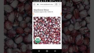 Seneca Cornhill, Amish Nuttle, or Mayflower Bean. Heirloom Seeds.