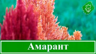 видео Амарант: выращивание из семян, когда сажать, как прорастить