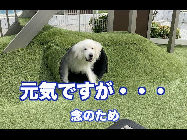 日常の過ごし方 グレートピレニーズ MXI犬