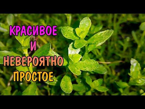 БАКОПА МОНЬЕ ВАРИЕГАТНАЯ ( bacopa monnieri variegatus )