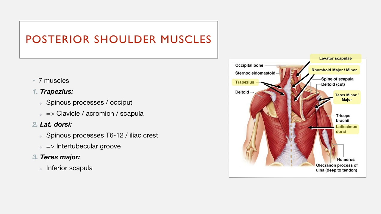 Posterior Shoulder Muscles: Structure - YouTube